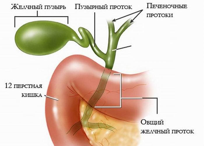 stroenie-zhelchnogo-puzyrya